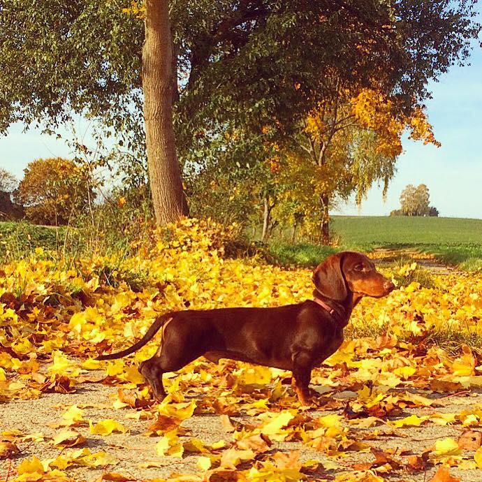 Dackel Erdmann braun Kurzhaardackel im Herbstlaub